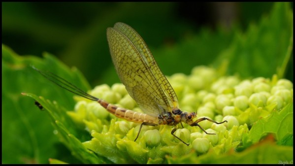 Mayfly--10-.jpg
