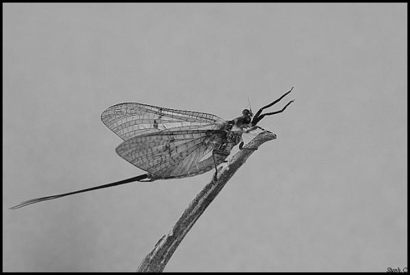 Mayfly (11)